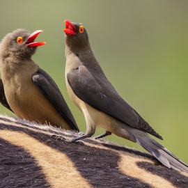 Oxpecker birds by Dirk Luus - Animals Birds ( orange, nature, oxpecker, animals, birds,  )