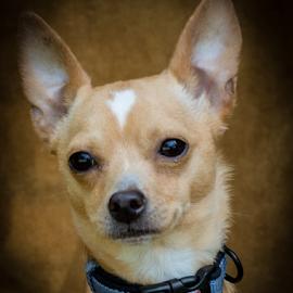 Tony by Myra Brizendine Wilson - Animals - Dogs Portraits ( canine, pet, tony, dog )