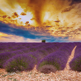 Lavender Field by Ad Spruijt - Flowers Flowers in the Wild