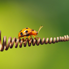 by Iwan Ramawan - Animals Insects & Spiders (  )