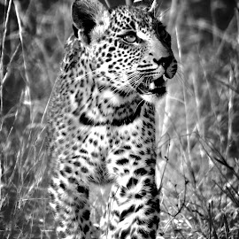 Young male leopard by Lisa Richardson - Animals Lions, Tigers & Big Cats ( big cats, animals, leopard )