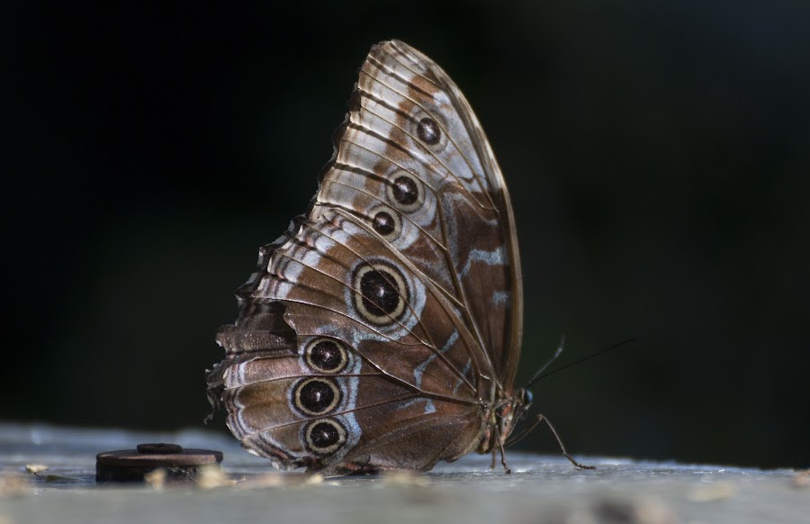Morpho Peleides butterfly by Pietro Ebner - Animals Insects & Spiders ( butterfly, common, tropical, morpho, peleides,  )