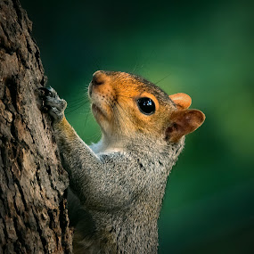 Up to the nest by Sue Delia - Animals Other ( tree, clinb, gray, squirrel,  )