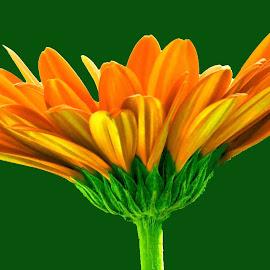ORANGE by SANGEETA MENA  - Flowers Single Flower