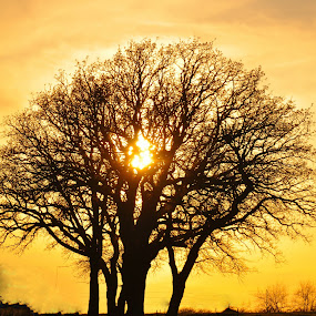 Shining Through The Tree by Kristen O'Brian - Landscapes Prairies, Meadows & Fields ( tree, sunset, yellow, leaves, branches, sun )