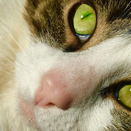 Watching  by Jon Ablicki - Animals - Cats Portraits ( cat, color, fur, feline, portrait, animal, eyes )