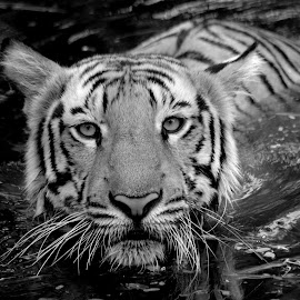 Bengal Tiger  by Tejz TJ - Black & White Animals ( big cat, animals, tiger, black and white, tigers, animal )