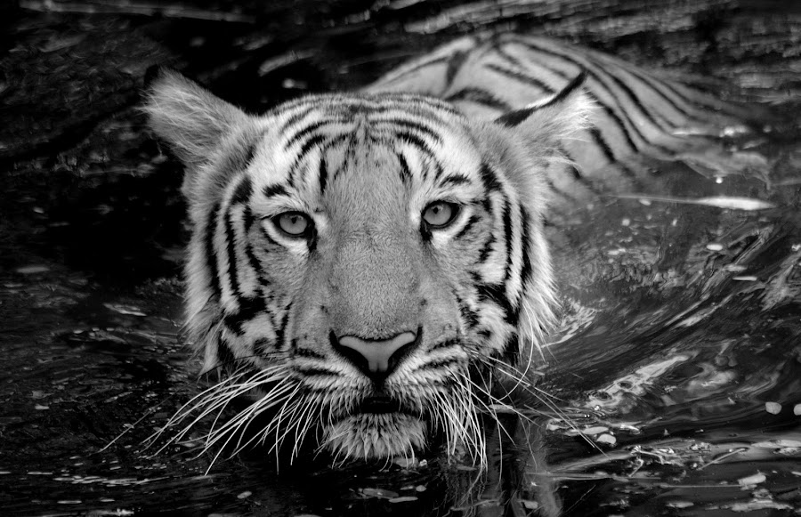 Bengal Tiger  by Tejz TJ - Black & White Animals ( big cat, animals, tiger, black and white, tigers, animal,  )