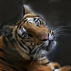 morning grrr by Esther Pupung - Animals Lions, Tigers & Big Cats