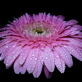 Gerbera 2 by Chandra Mouli Roy Chowdhury - Nature Up Close Flowers - 2011-2013