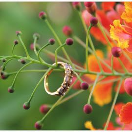 Delonix regia by Prachi More - Flowers Tree Blossoms ( jwellery, orange, red, gulmohar, finger ring, green, yellow, delonix regia )