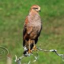 Gavião-caboclo (Savanna Hawk)