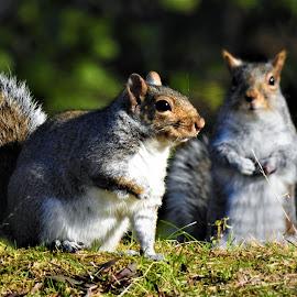 Best buddies for the moment by Mary Gallo - Animals Other Mammals ( mammals, animals, nature, squirrels, wildlife, buddies )