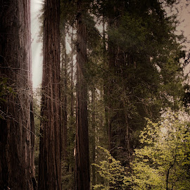 by Johannes Oehl - Landscapes Forests ( muir woods national monument, redwoods, wilderness, tree, sequoia, sequoia sempervirens, trees, coastal redwoods, forest, muir woods, coast redwood )