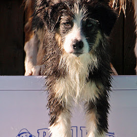 Pool Pup by Kristi Muck - Animals - Dogs Puppies