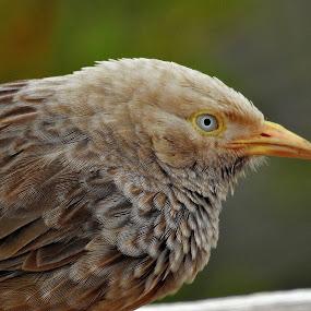 Close-up of an yellow-billed babbler. by Govindarajan Raghavan - Animals Birds (  )