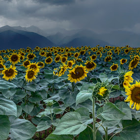 Sunflowers by Stratos Lales - Flowers Flowers in the Wild ( field, mountain, summer, sunflower, misty )
