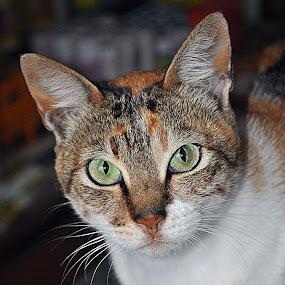 Miawww by Yosh Ginsu - Animals - Cats Portraits
