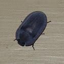 Pie-dish Beetle -2