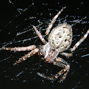 Walnut orb-weaver