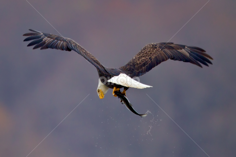 by Herb Houghton - Animals Birds ( bird of prey, eagle, bald eagle, raptor, fishing )