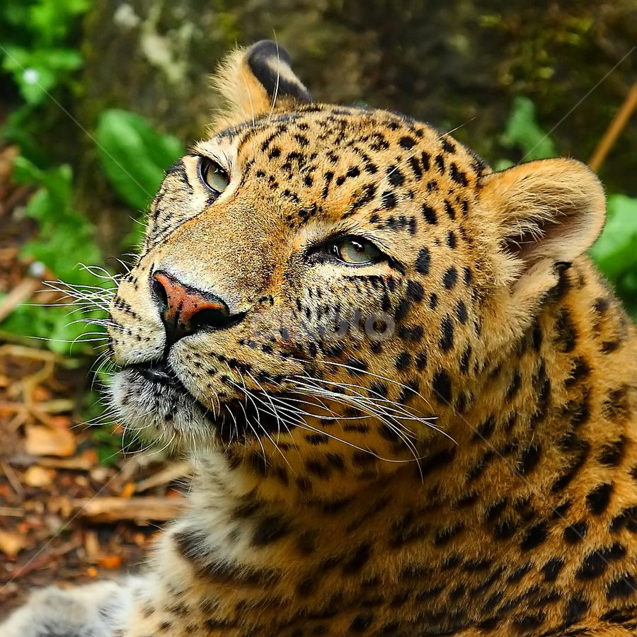 Persian leopard by Gérard CHATENET - Animals Lions, Tigers & Big Cats (  )