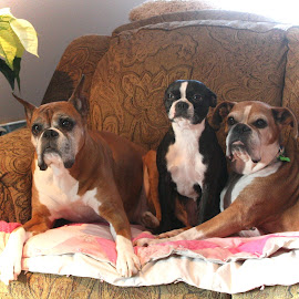 Christmas Portrait by Lena Arkell - Animals - Dogs Portraits ( boston, boston terrier, boxer, poinsetta, boxers, cropped, fawn, christmas, brindle,  )