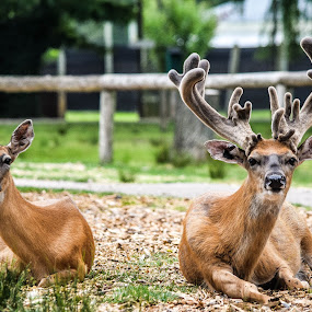 Deer couple enjoying the company of humans by Jason Lockhart - Animals Other Mammals ( wisconsin deer park, deer couple, wisconsin dells, deer portrait, 15 point buck )