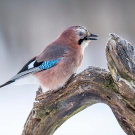 Jay by Stanley P. - Animals Birds