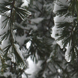 Snowy Evergreens by River Lackey - Novices Only Flowers & Plants ( evergreens, winter, tree, snow, snowy, pine, closeup )