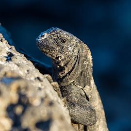 Galapagos Iguana by Davis Hotard - Animals Reptiles ( scaly, iguana, galapagos islands, galapagos, reptile )