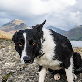 Ready, ready? by Sue Lascelles - Animals - Dogs Portraits ( sit, intelligent, collie, dog, ready, expectant )
