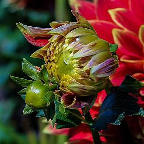 Dahila by Jim Jones - Flowers Single Flower ( canby dahlia farm, dahila, s, flowers, dahlia, close up )