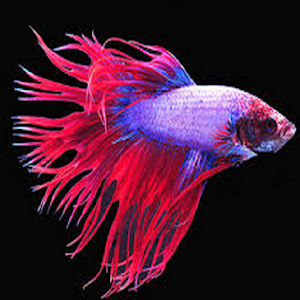 Download betta fish apk on pc download android apk games for Betta fish game