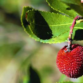 Medronho fruit by Cristina Nunes - Nature Up Close Other plants (  )
