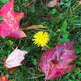 Dandelion - Autumn's Last Gasp by Jane Spencer - Nature Up Close Leaves & Grasses ( dandelion, grass, autumn, fall, leaves, clover )