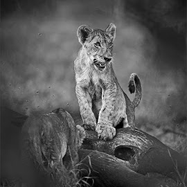 Lion cubs with kill by Johann Harmse - Animals Lions, Tigers & Big Cats ( lion cub with kill, lion, nature, lions, lion cub,  )
