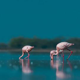 Lesser Flamingos  by Rajbir Manjit Singh Oberoi - Animals Birds ( water, lesserflamingo, wildlifephotography, reflection, gujarat, travel, littlerannofkutch, birds, together, aves, two, wildbird, nature, flamingo, india, blues )