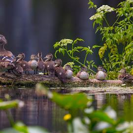 All Aboard by Lynn Kohut - Animals Birds ( water, florida, wood ducks, ducks, summertime, birds, river,  )