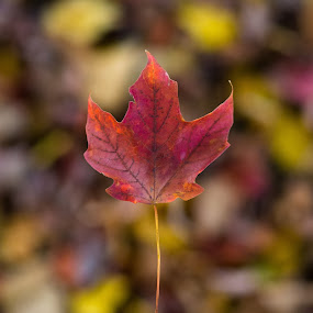 Leaf by John  Pemberton - Nature Up Close Trees & Bushes ( warm, autumn, fall, depth of field, leaf,  )