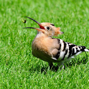 In the air and taken !!! by Masood Hussain - Animals Birds ( eursaian hoopoe birds bird ave fly prey nature wildlife india indian eat toss )