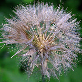 Bonny Seedhead by Chrissie Barrow - Nature Up Close Other plants ( plant, wild, jack-go-to-bed-at-noon, meadow salsify, seeds, bokeh, seedhead )