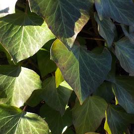 Листа by Georgi Kolev - Nature Up Close Other plants ( слънце., ден., листа., сенки., време. )