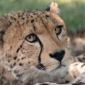 Hey there, handsome by Tazi Brown - Animals Lions, Tigers & Big Cats ( spots, cheetah, cat, those eyes, handsome )