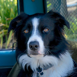 Border Collie Waits by Barbara Brock - Animals - Dogs Portraits ( smart dog, border collie, pet, black and white dog, dog )