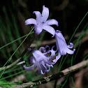 Spanish Bluebell; Jacinto de los Bosques