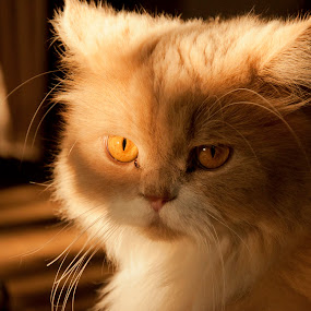 by Bariscan OZKALAY - Animals - Cats Portraits (  )