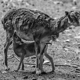 Corsican Mouflon by Jack Lewis McClure - Animals Other Mammals ( wild sheep, mouflon, corsican mouflon, black and white, corsican, feeding, sheep, baby animals )