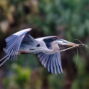 Nest building Heron 1 by Buddy Eleazer - Animals Birds ( great blue heron )