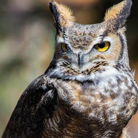 On Alert by John M. Larson - Animals Birds ( canon, canon 7d mkii, bird, nature, texture, owl, wildlife, feathers, bokeh, horned owl, eyes,  )